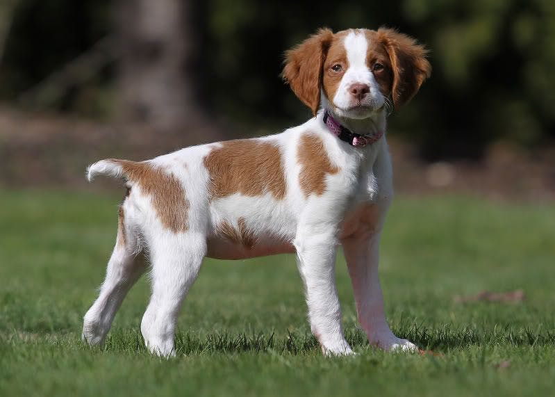 Scout's name story for Brittany Dog Names