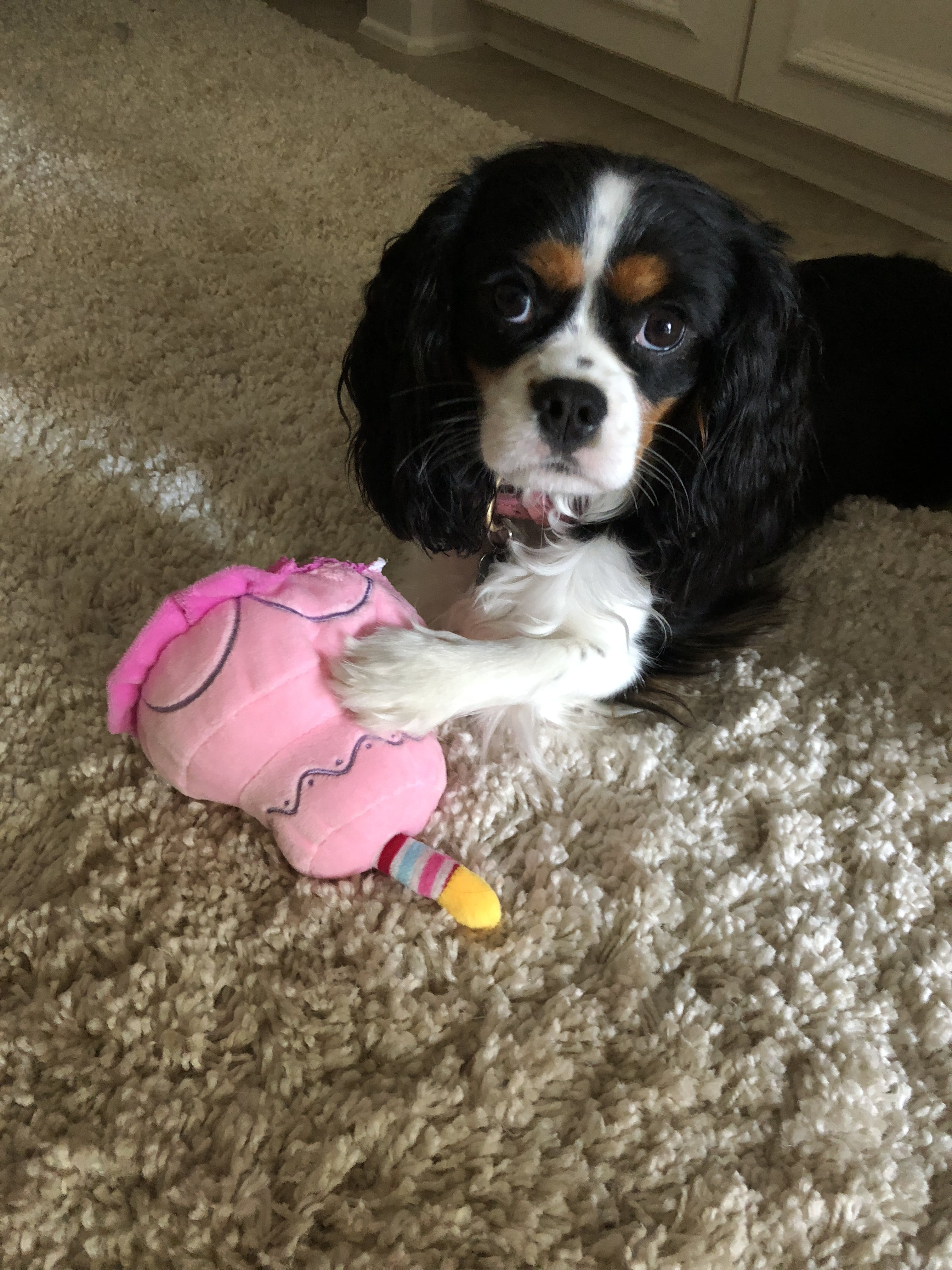 Fiona's name story for Cavalier King Charles Spaniel Dog Names