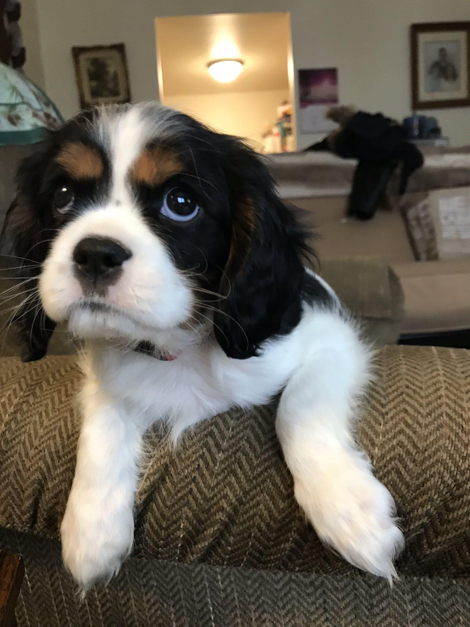 Chester's name story for Cavalier King Charles Spaniel Dog Names