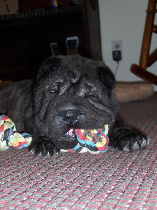 Voodoo's name story for Chinese Shar-Pei Dog Names