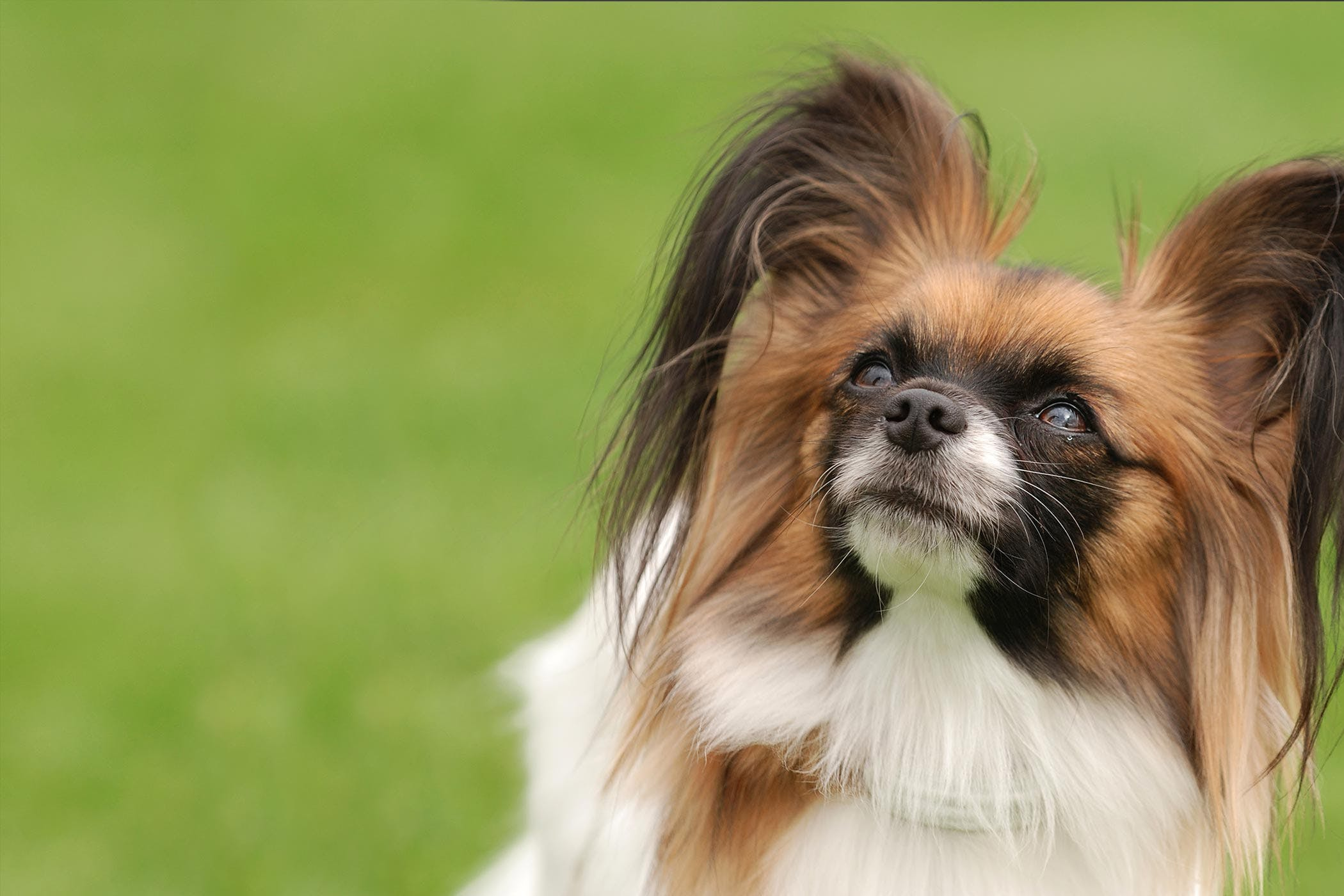 Spanish Dog Breeds Beginning With P
