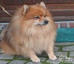 Lucky's name story for German Spitz Dog Names