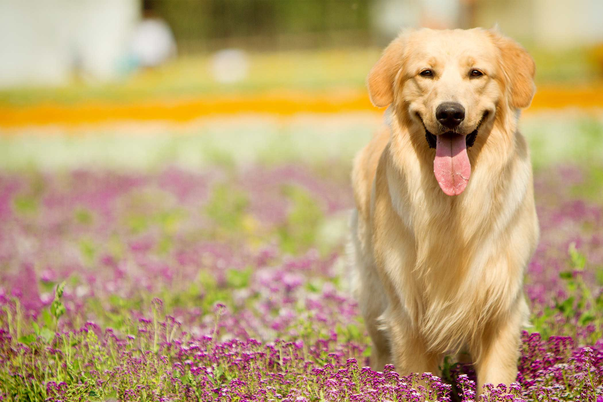 Golden Retriever Dog Names | Popular Male and Female Names ...