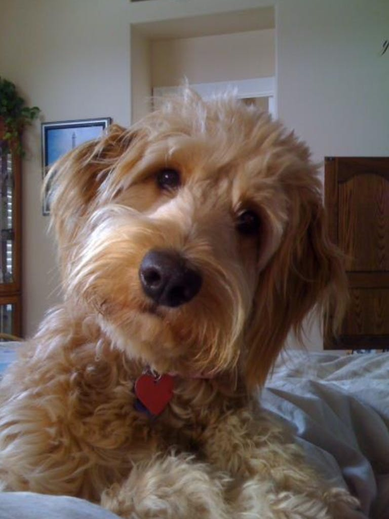 Liberty belle a.k.a. libby's name story for Goldendoodle Dog Names