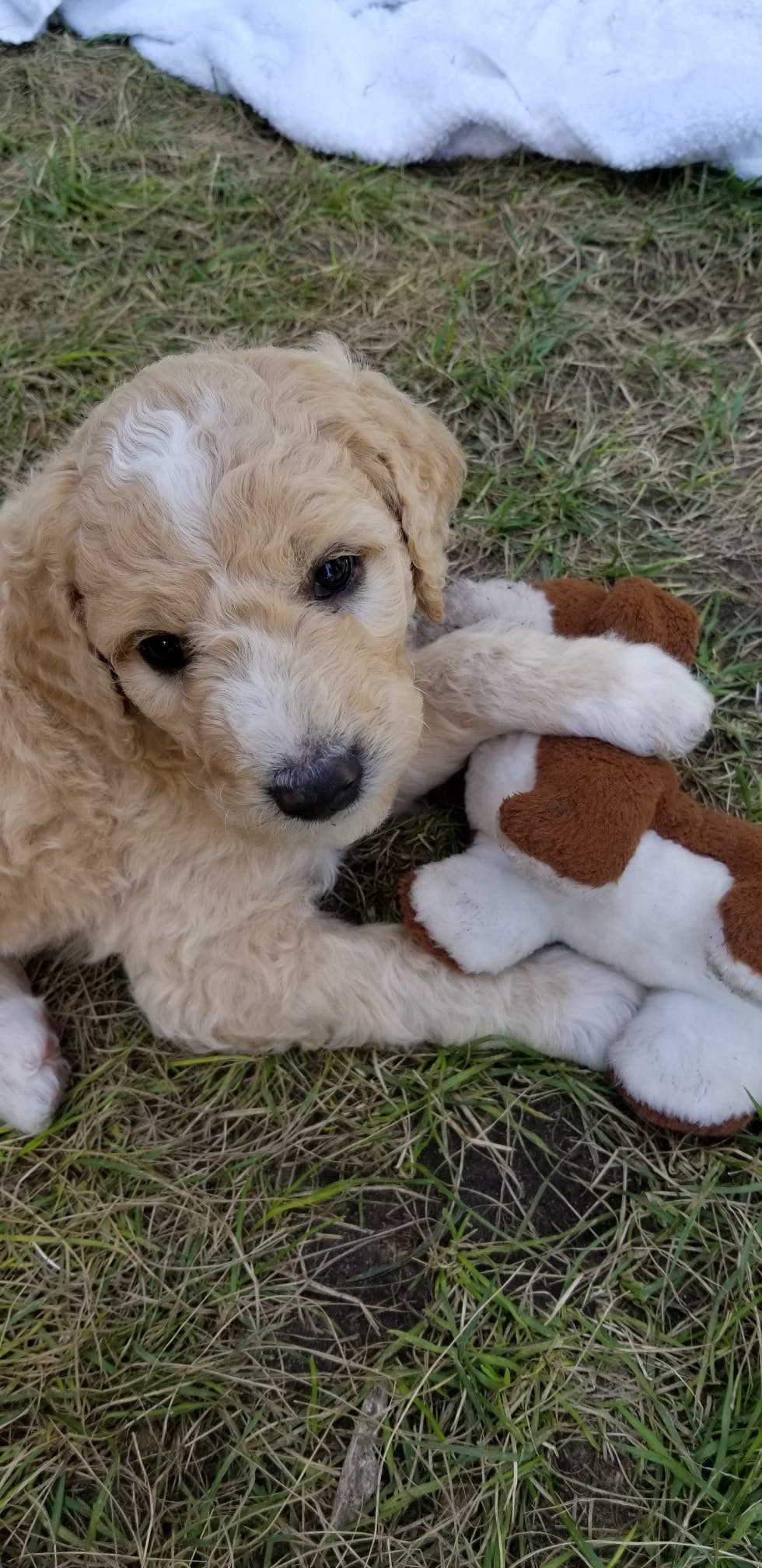 Aoife's name story for Goldendoodle Dog Names