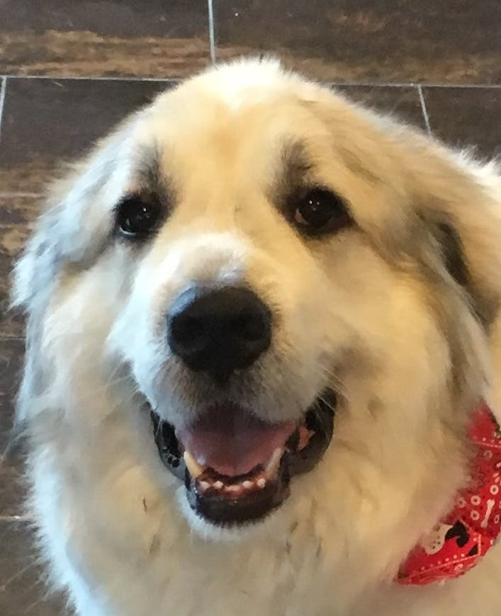 Beau's name story for Great Pyrenees Dog Names