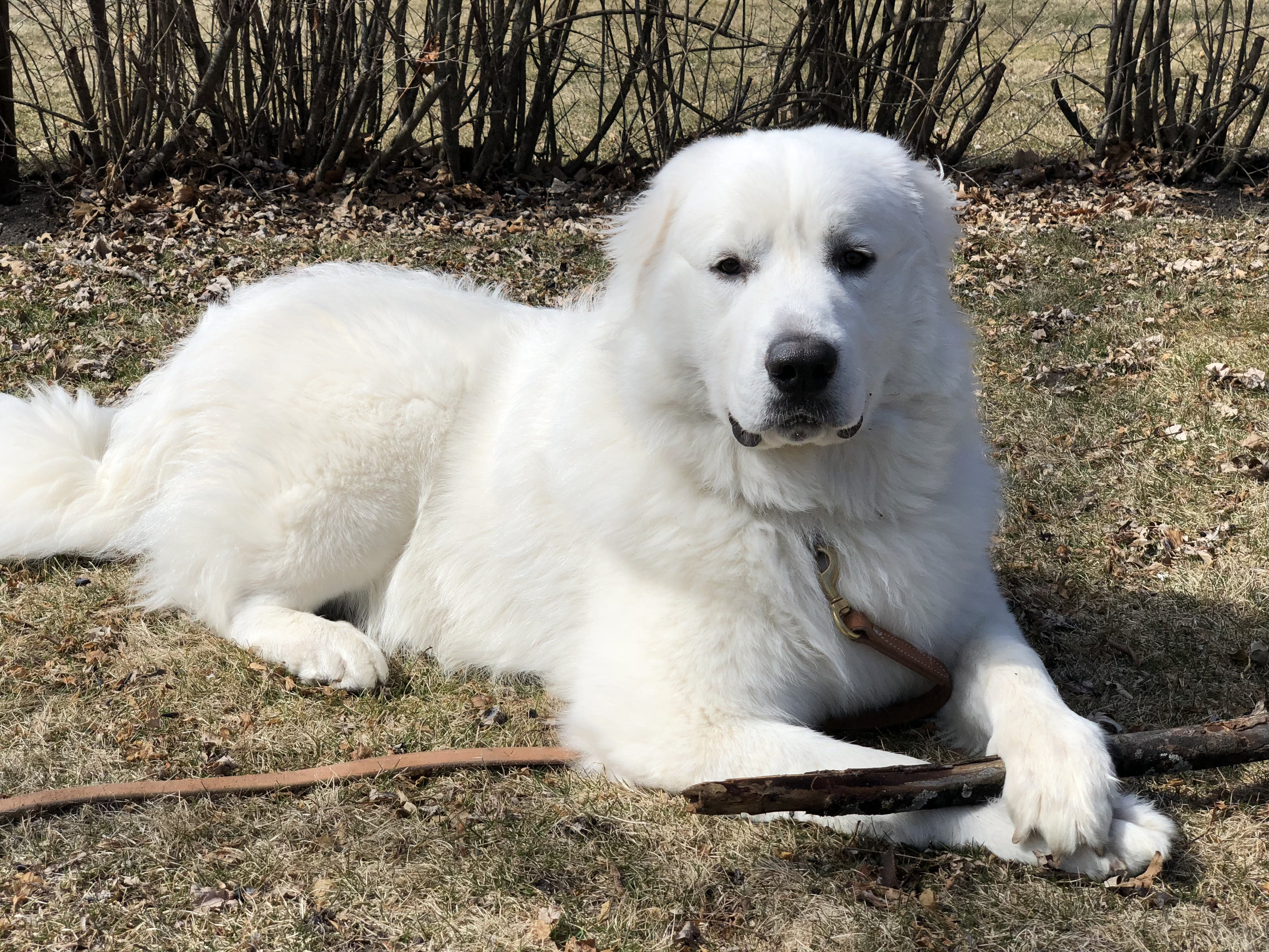 Finn's name story for Great Pyrenees Dog Names