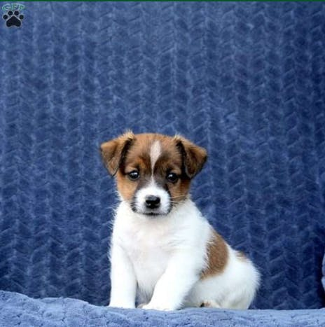 Sprinkle's name story for Jack Russell Terrier Dog Names