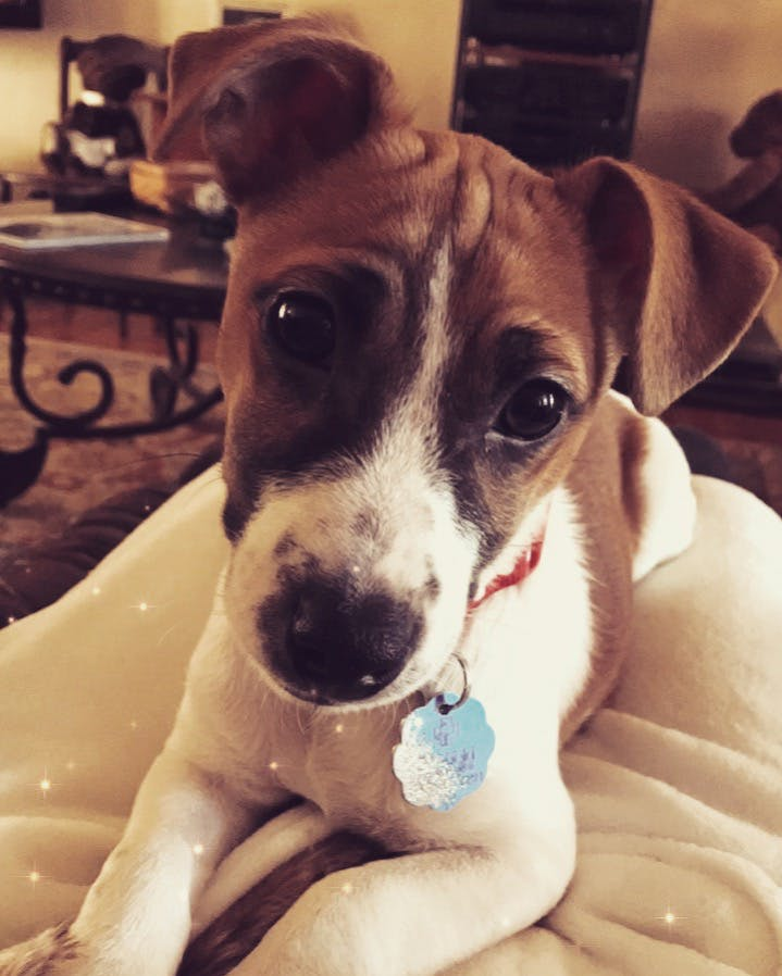 Kensington's name story for Jack Russell Terrier Dog Names