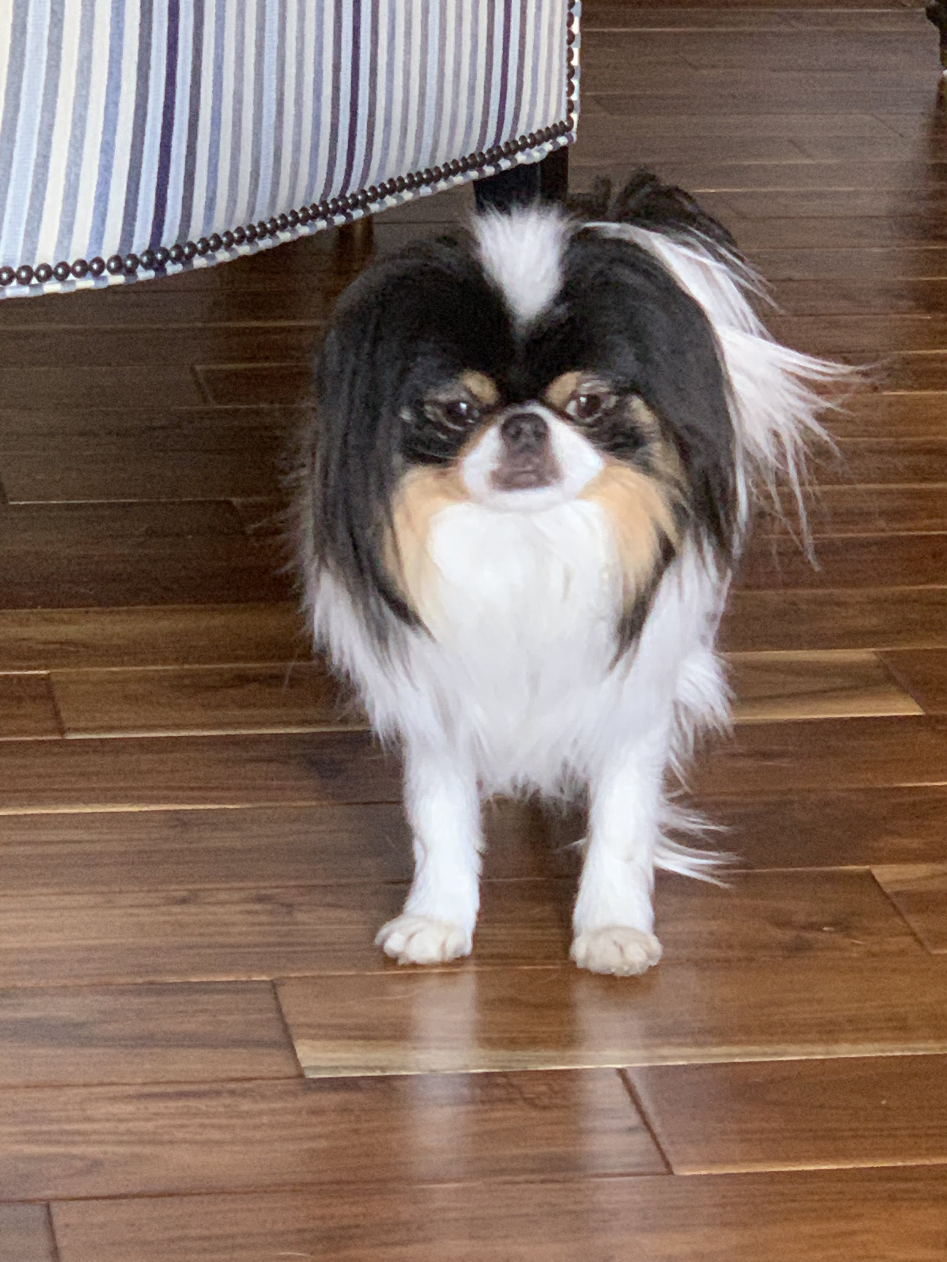 Yuki's name story for Japanese Chin Dog Names