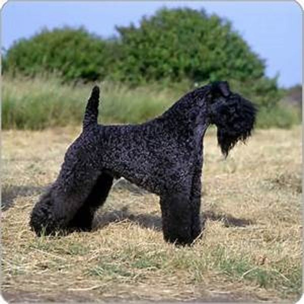 Bridget may's name story for Kerry Blue Terrier Dog Names