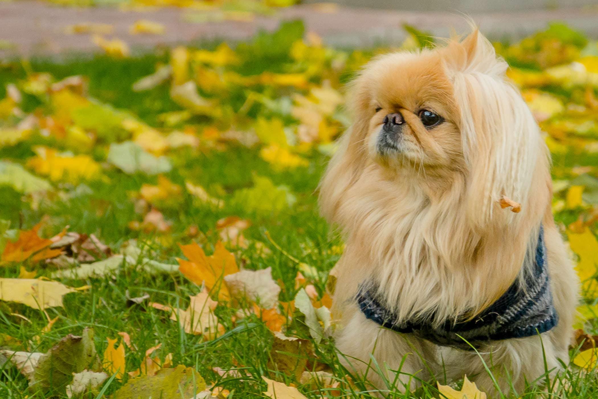 Pekingese Dog Names Por Male And