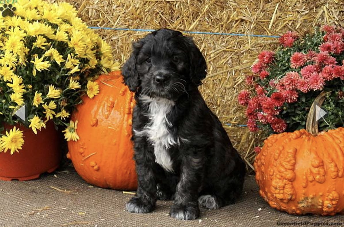 Mack's name story for Portuguese Water Dog Names