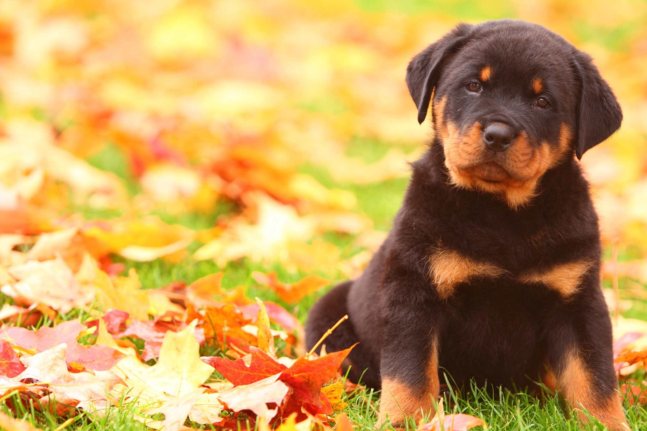 rottweiler dog names - HD2100×1400