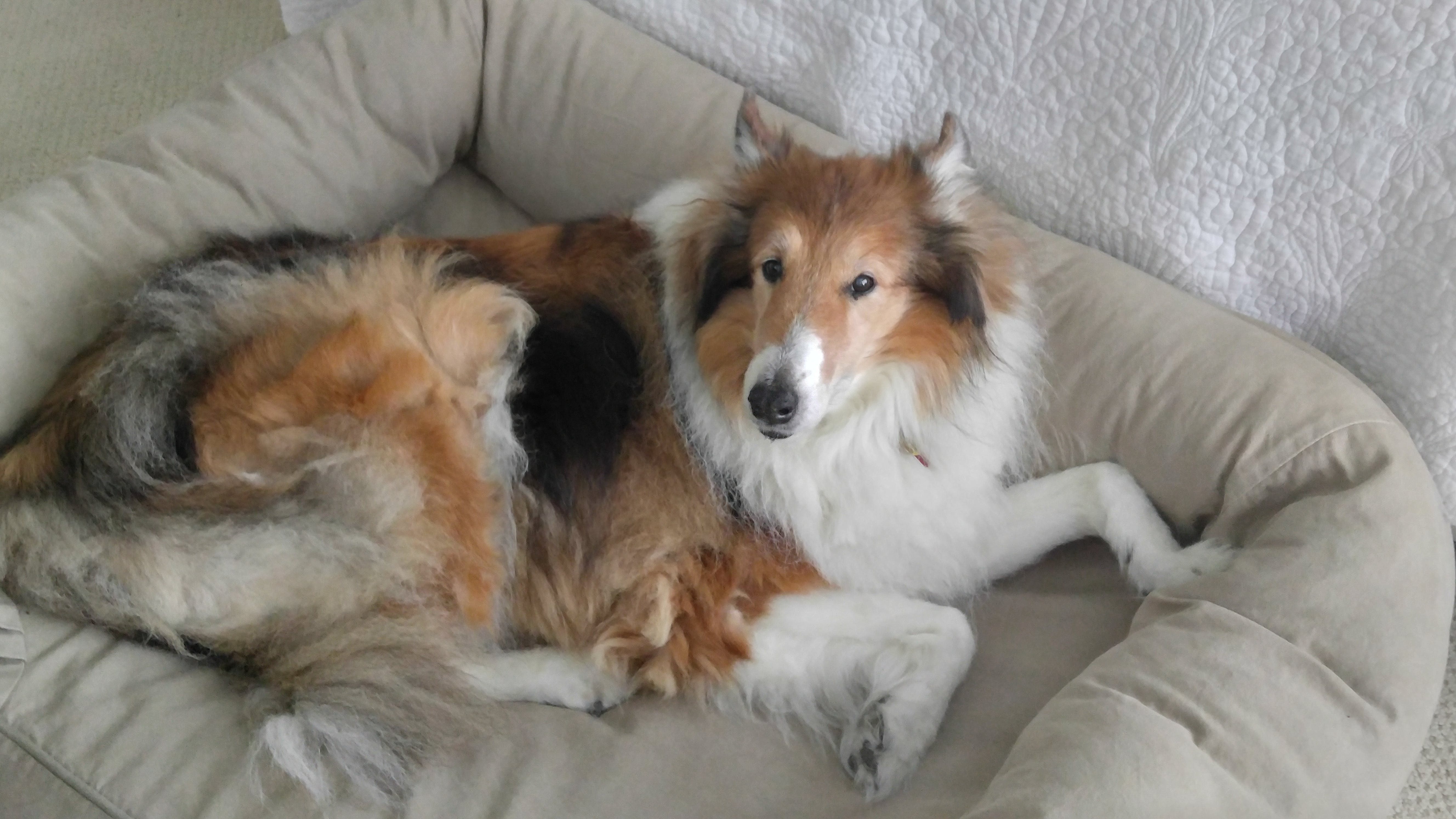 Shadow's name story for Rough Collie Dog Names