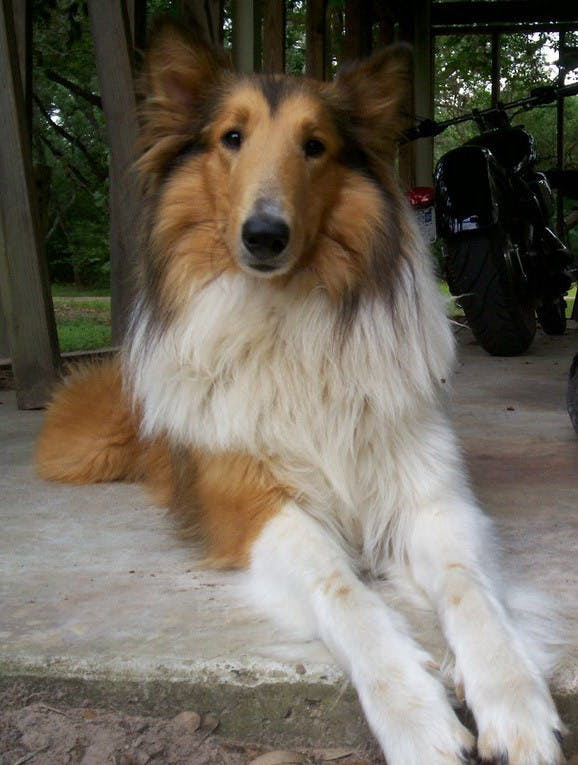 Beyoncé's name story for Rough Collie Dog Names