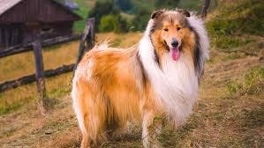 Lassie's name story for Rough Collie Dog Names