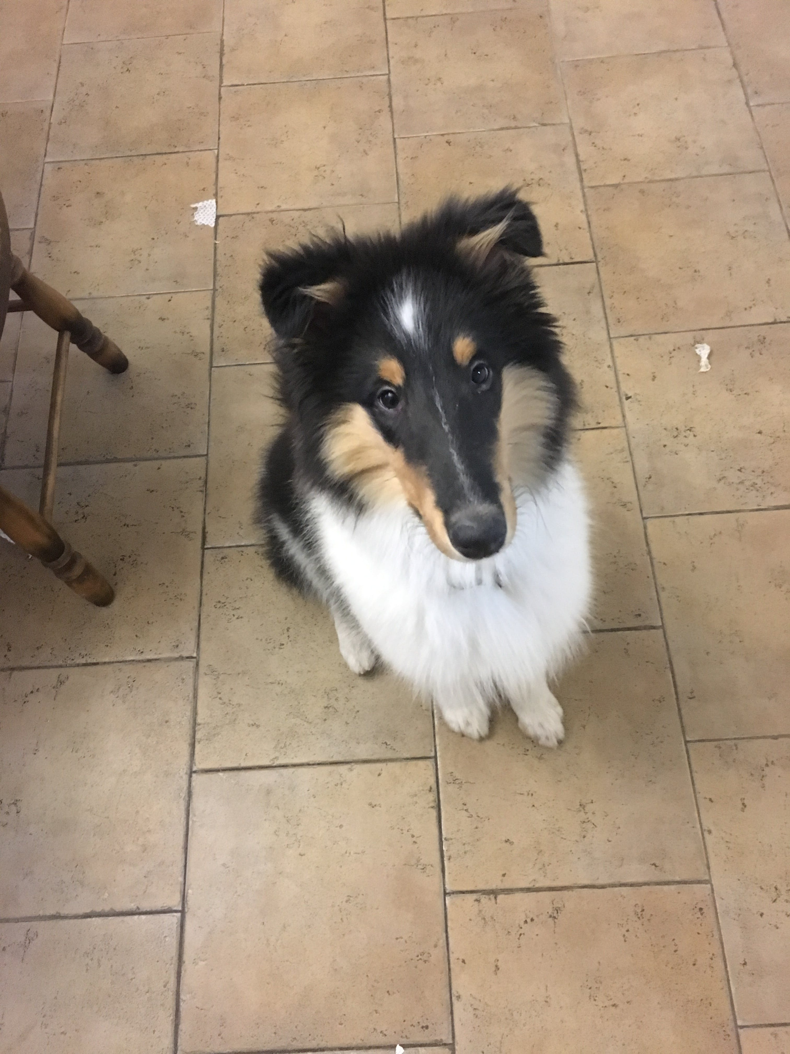 Chase's name story for Rough Collie Dog Names
