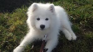 Stella's name story for Samoyed Dog Names
