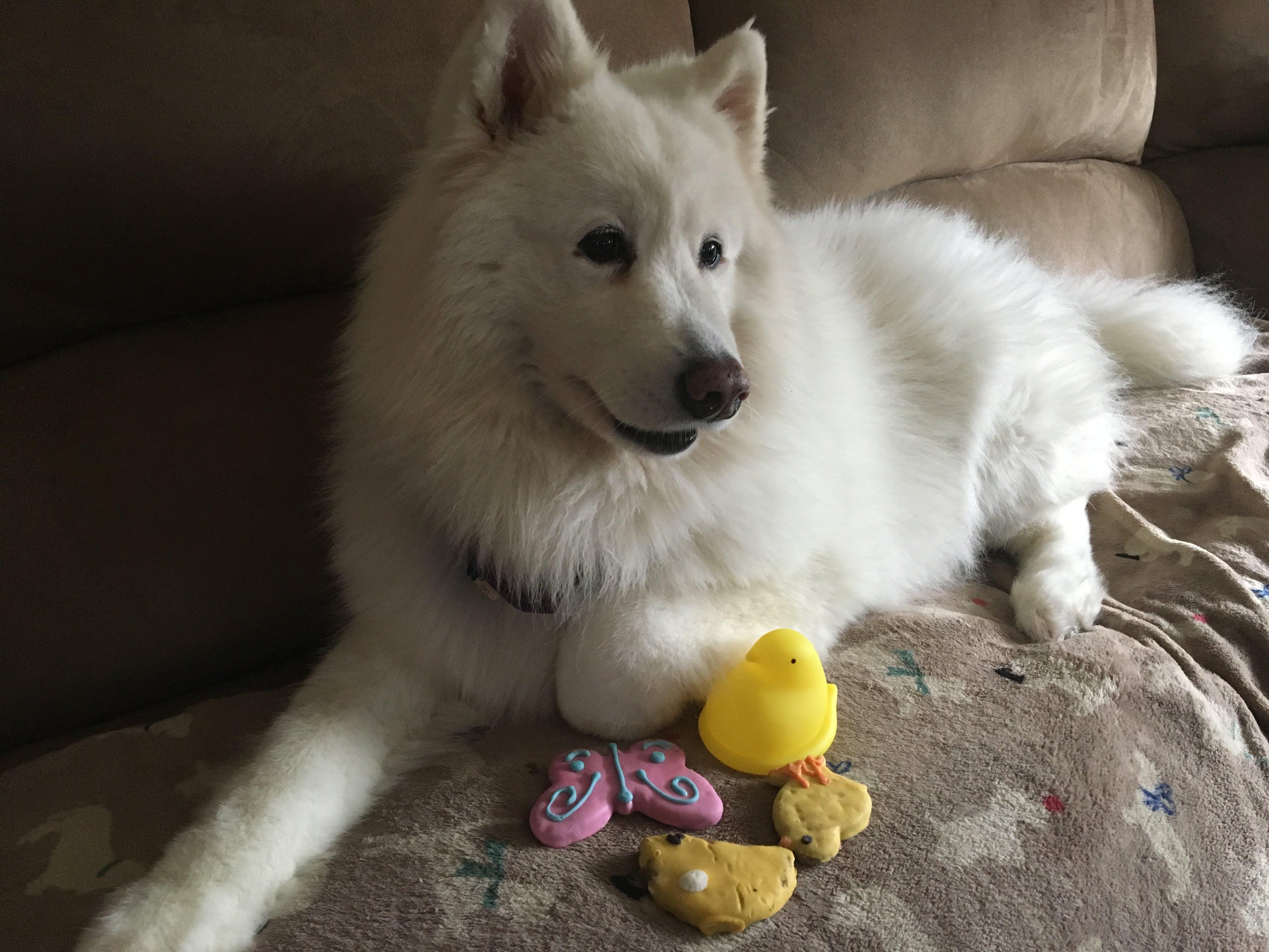 Glacia's name story for Samoyed Dog Names