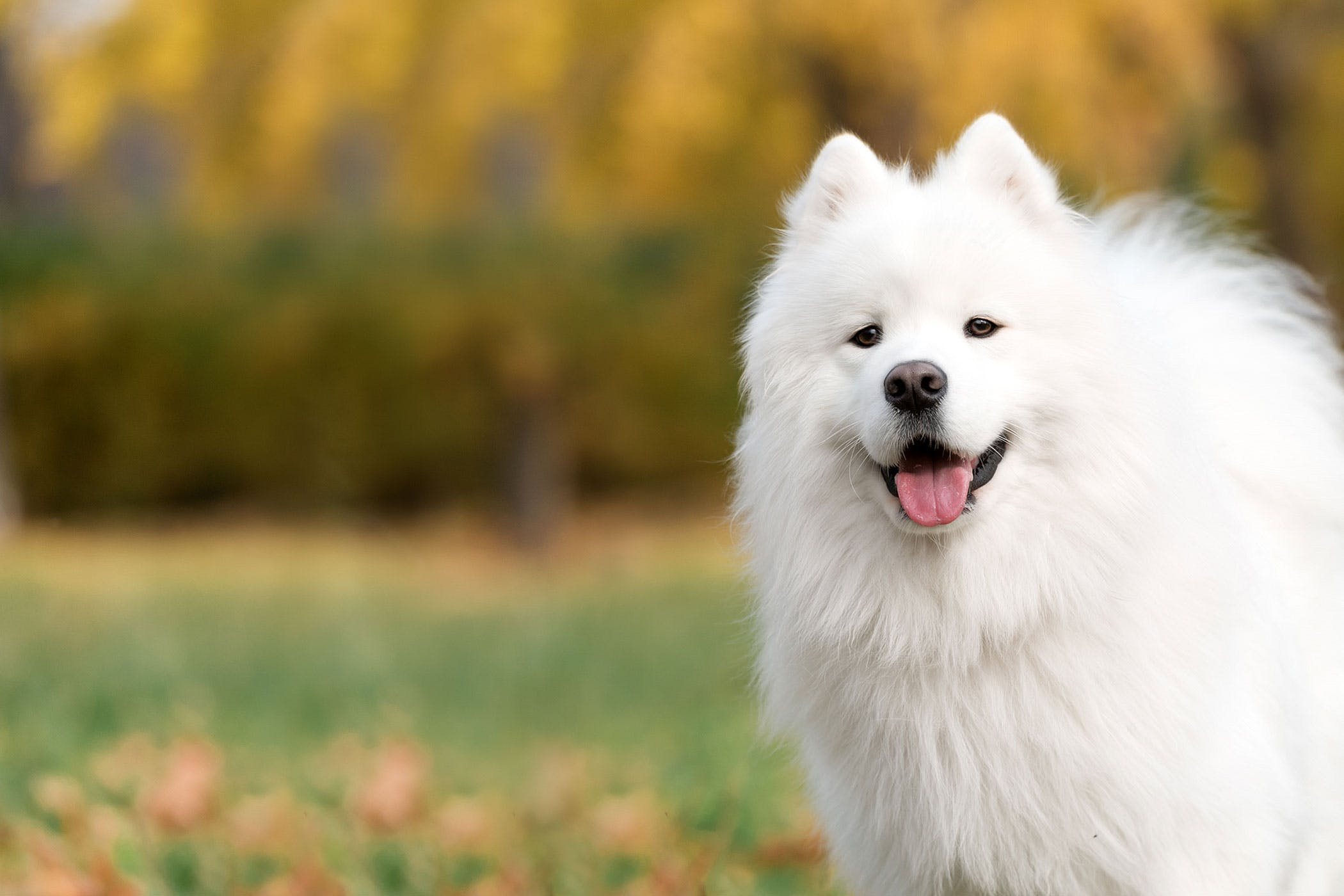 Samoyed Dog Names | Popular Male and Female Names | Wag!