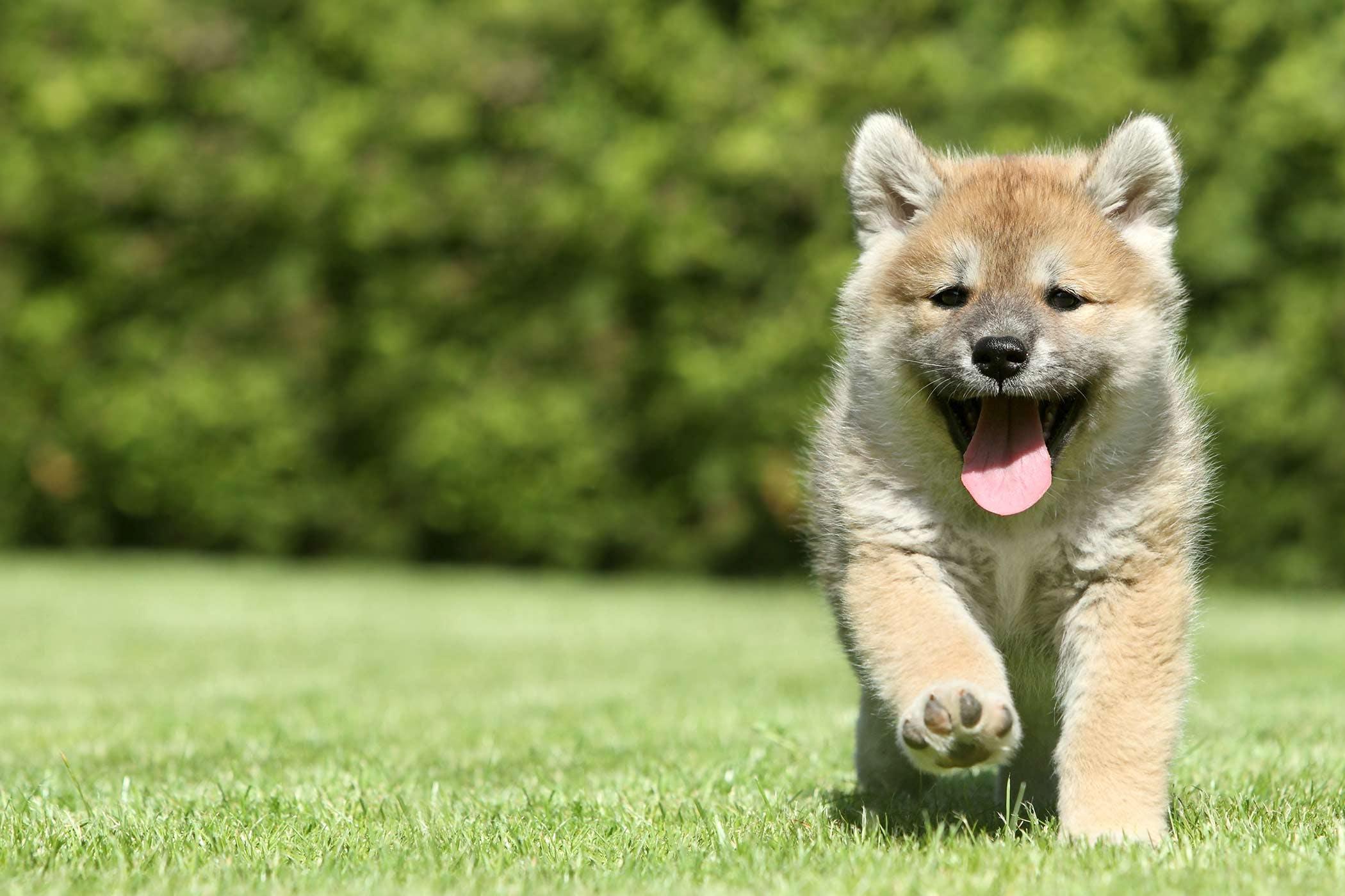 Shiba Inu Dog Names Popular Male And Female Names Wag