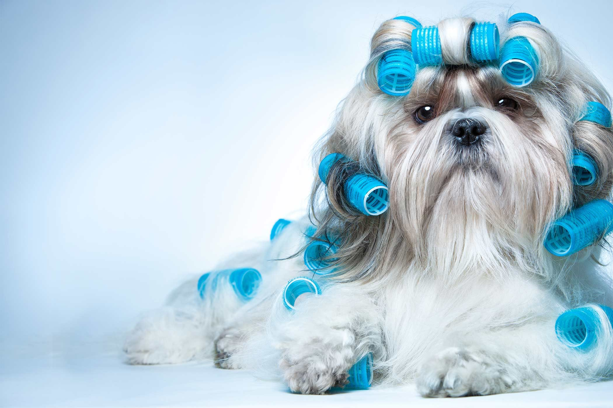 Shih Tzu Dog Names Popular Male And Female Names Wag