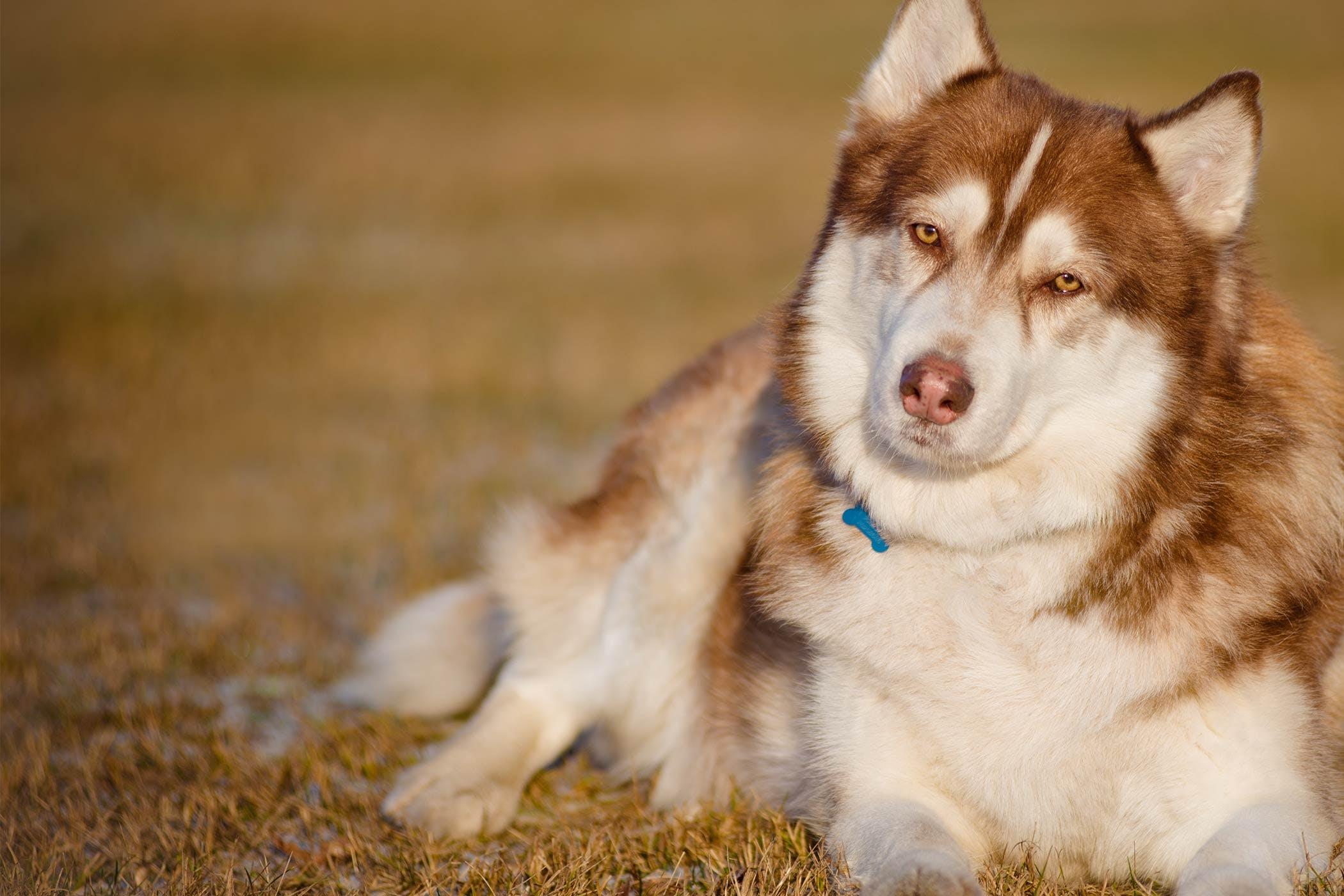 Siberian Husky Dog Names Popular Male And Female Names Wag
