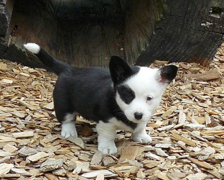 Eclipse is my new puppy! she is a black and white corgi. she is very smart and the perfect cuddle buddy!'s name story for Space Inspired Dog Names