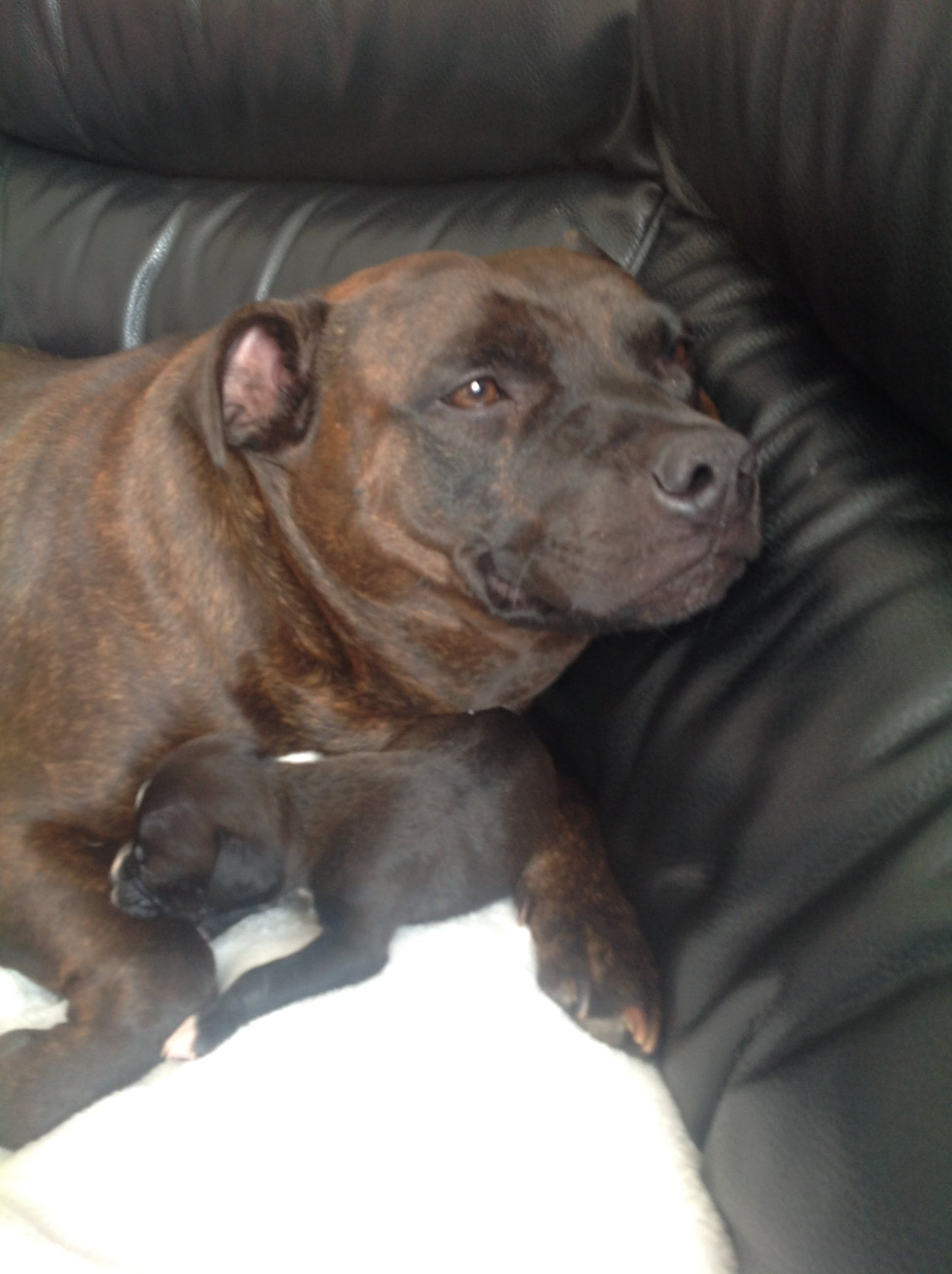 Tank's name story for Staffordshire Bull Terrier Dog Names