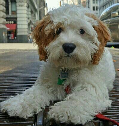 Muffin's name story for Tibetan Terrier Dog Names