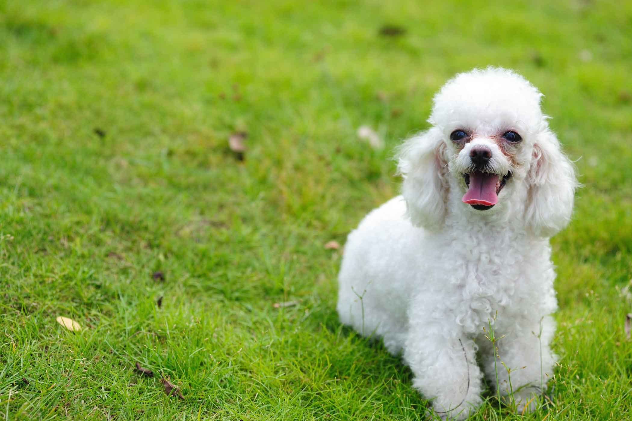 Toy Poodle Dog Names - Wag! | Toy Story Dog Breed