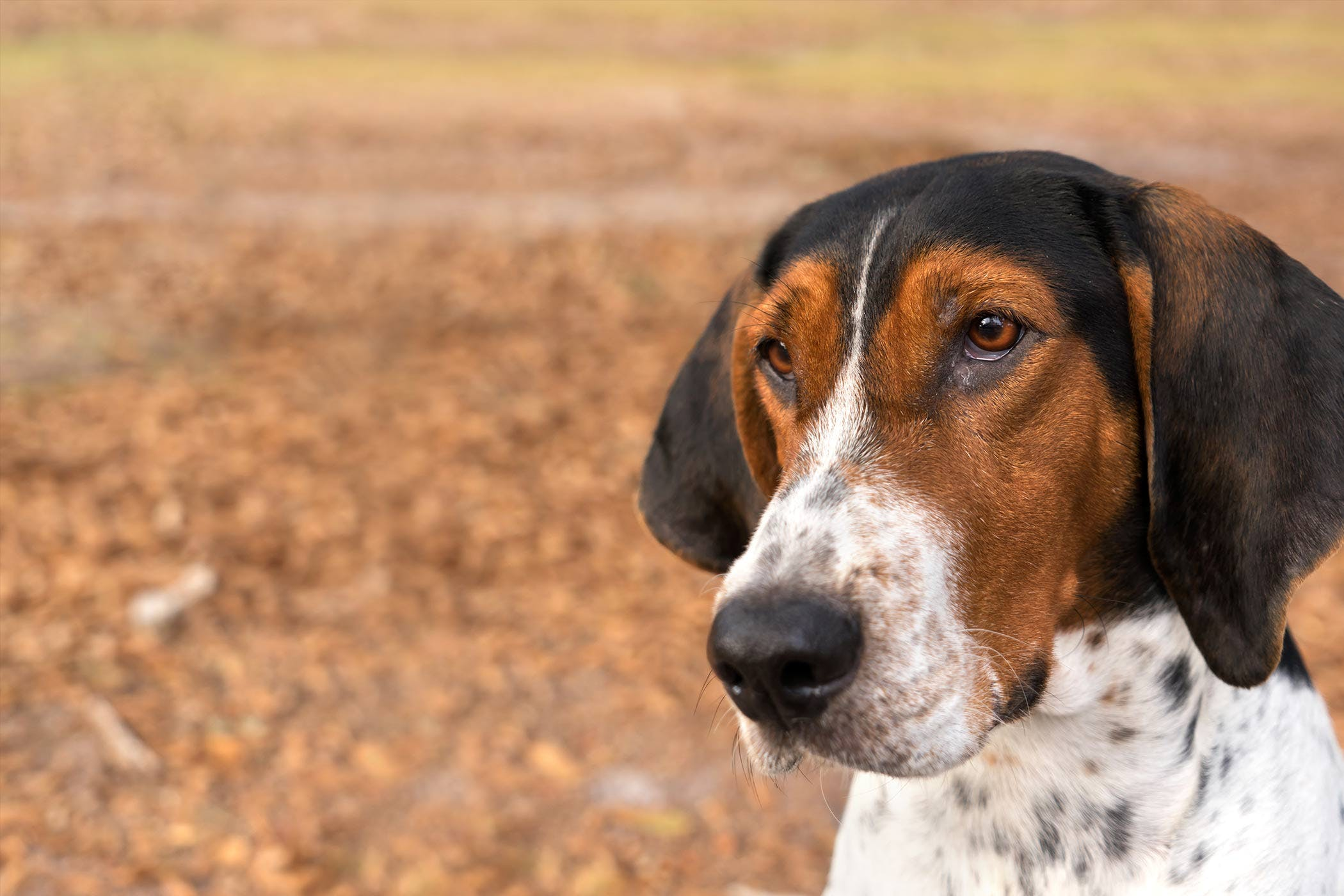 Treeing Walker Coonhound Dog Names | Popular Male and ...