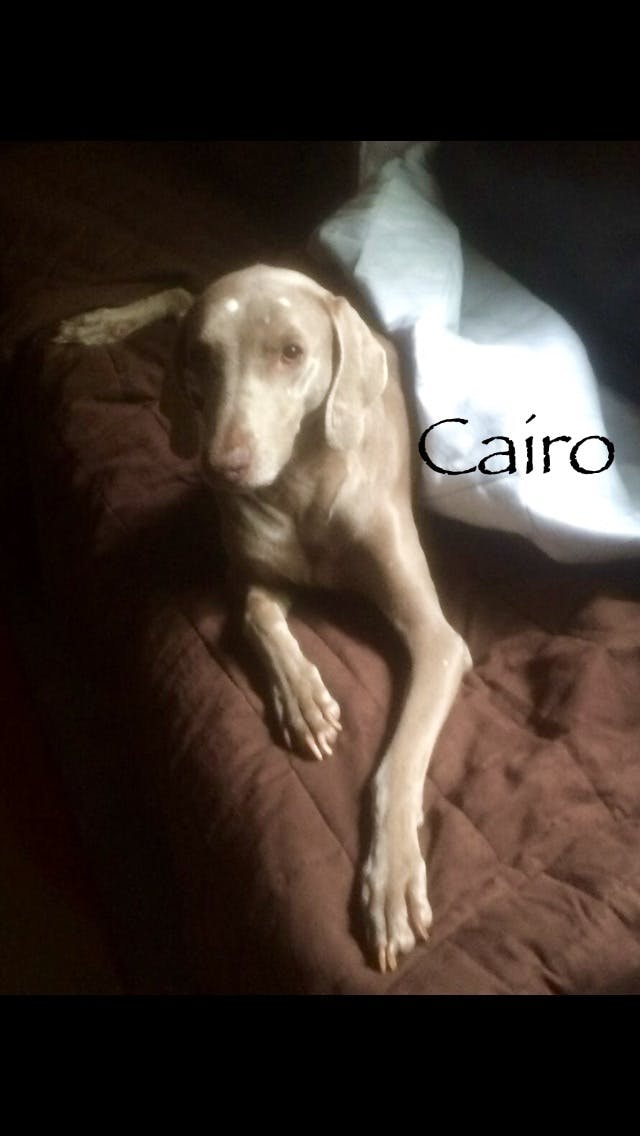 Cairo's name story for Weimaraner Dog Names