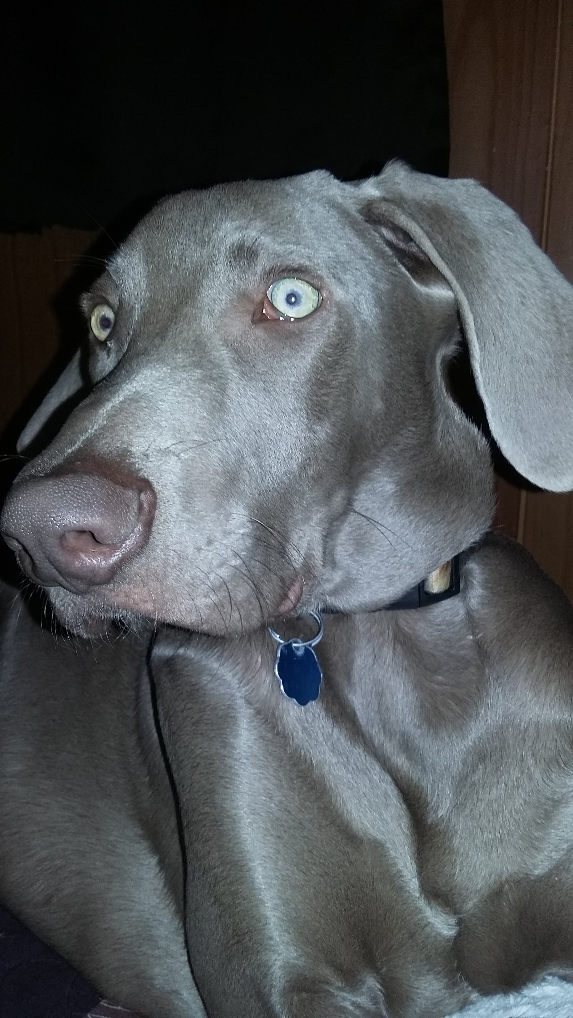 Weimaraner Dog Names | Popular Male and Female Names | Wag!