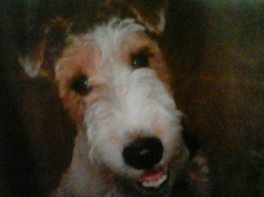 Trixie's name story for Wire Fox Terrier Dog Names