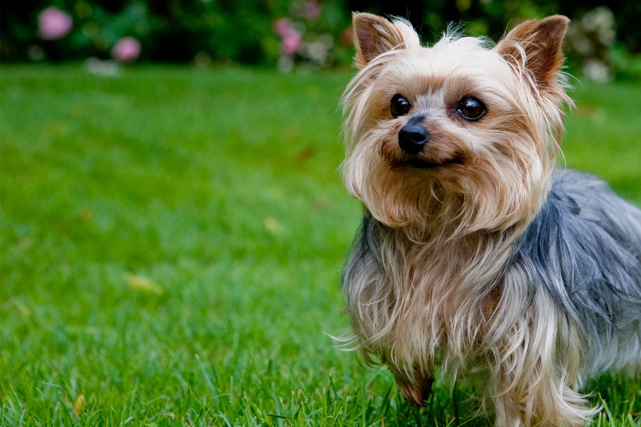 Yorkshire Terrier Dog Names Popular Male And Female Names Wag