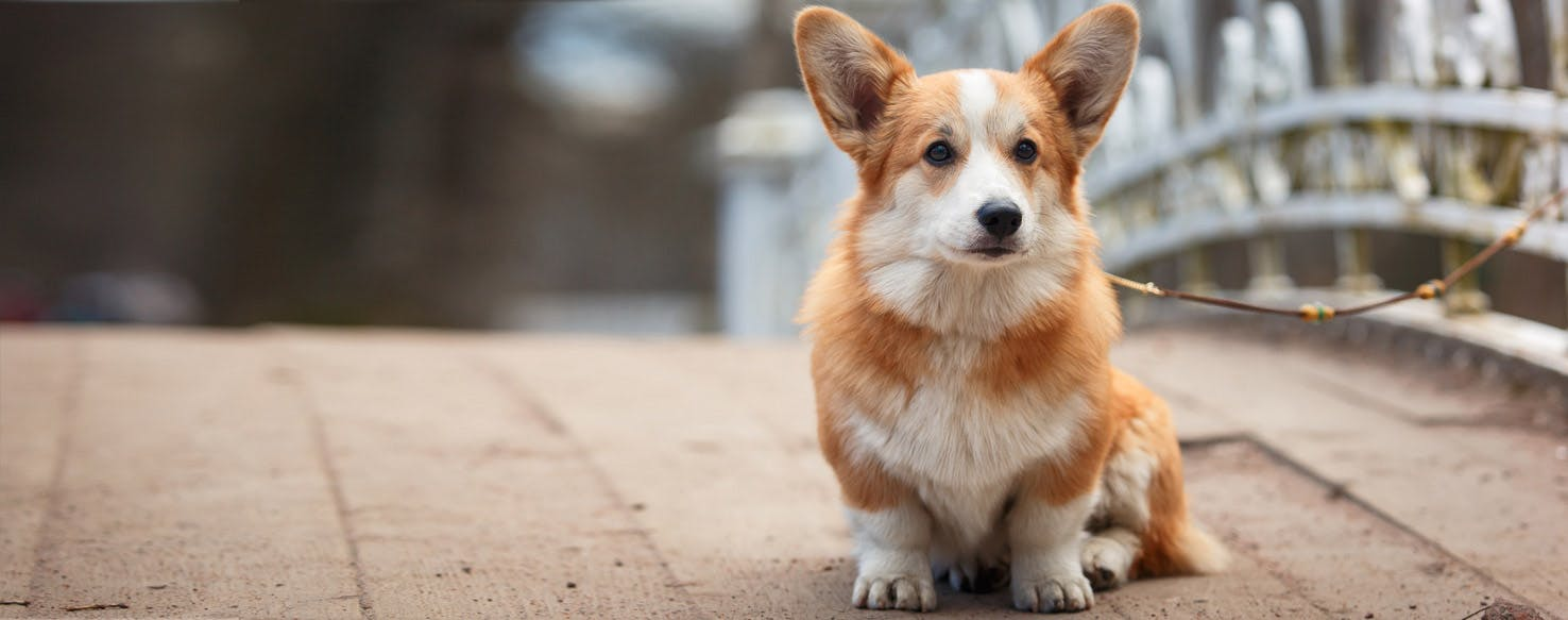 Dwarf dogs: breeds. Photos, reviews of owners 56