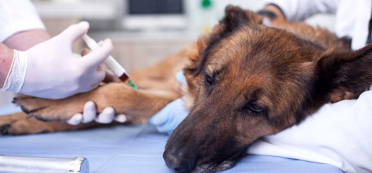 dog sick after rabies shot