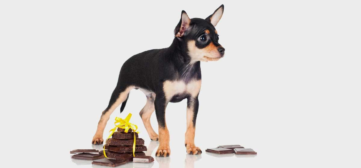 Can Dogs Live After Eating Chocolate Wag