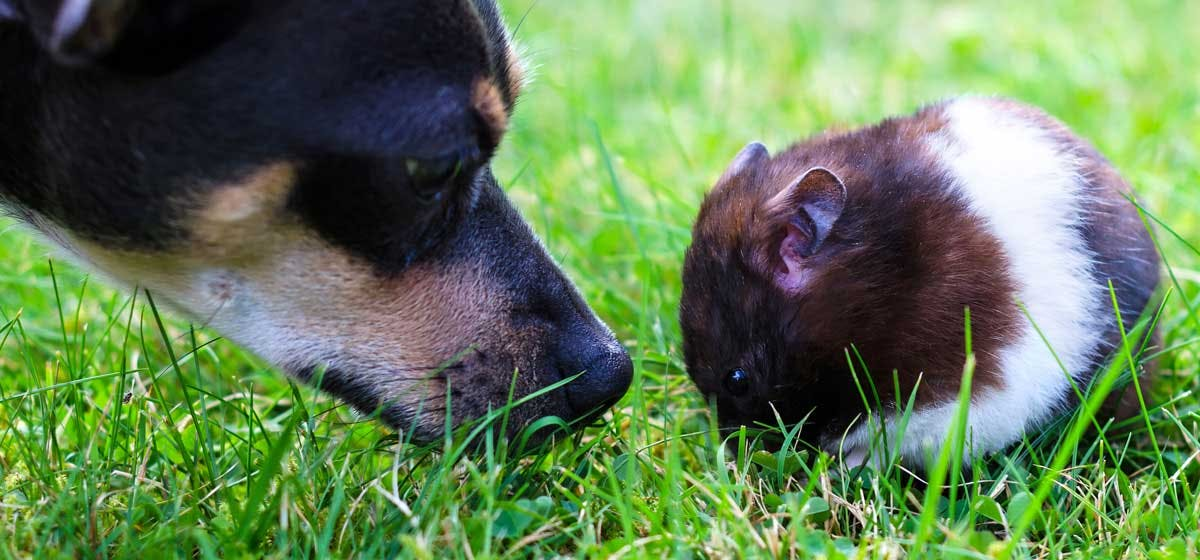 Can Dogs Live with Hamsters? - Wag!