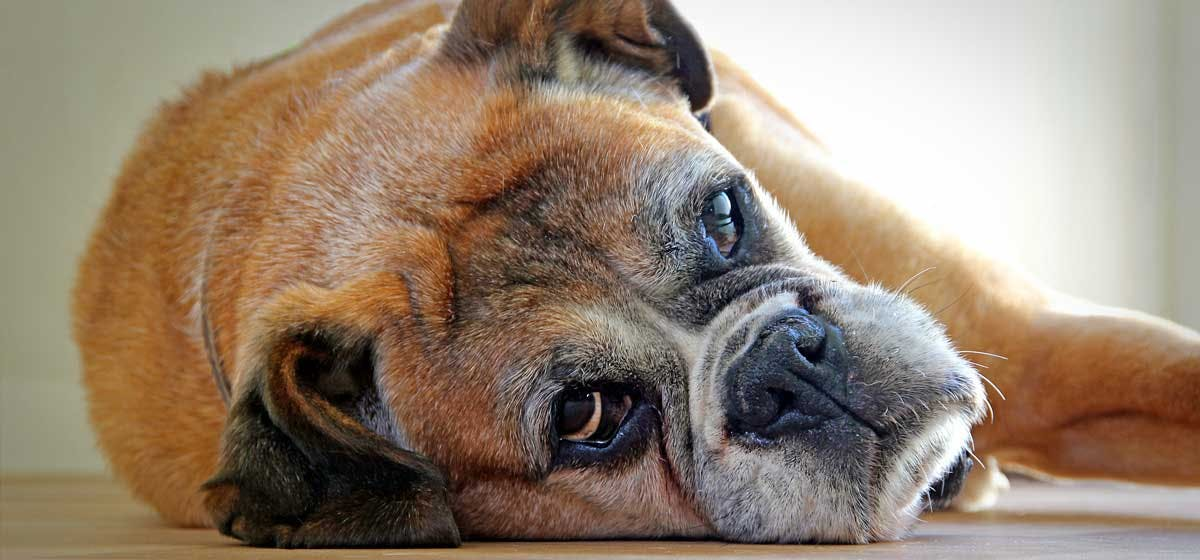 Can Dogs Vomit From Stress Wag