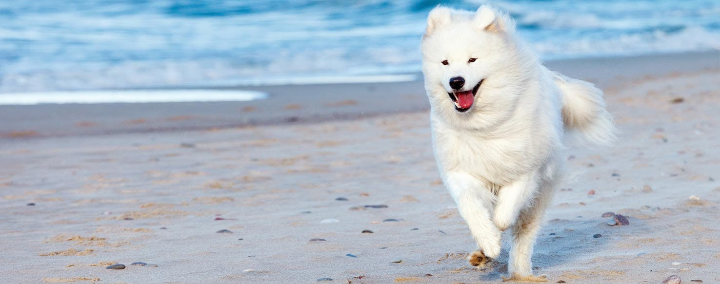 Can dogs see dead spirits wag can samoyed dogs live in hot weather publicscrutiny Images