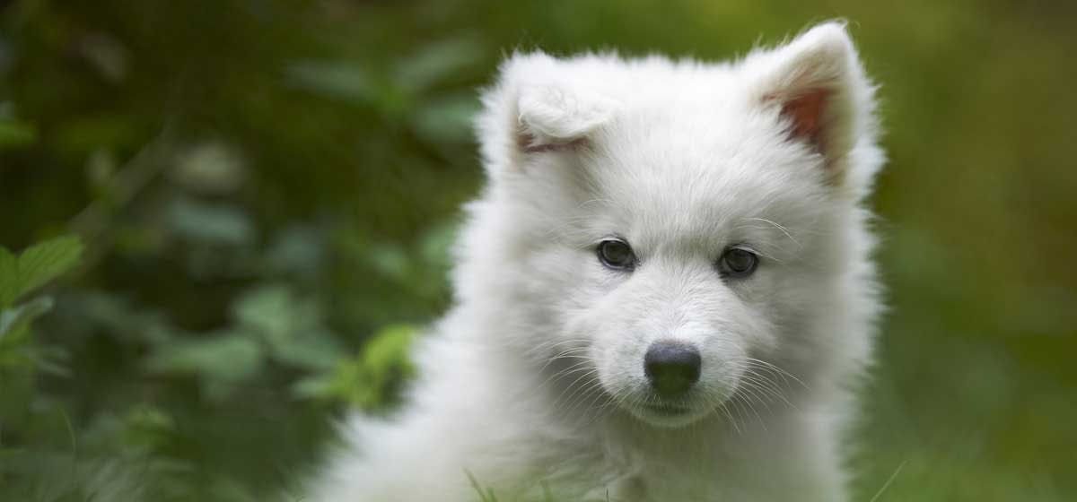 Can Samoyed Dogs Live in Hot Weather - Wag!
