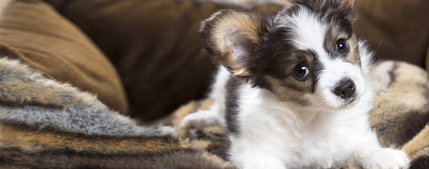 Can Dogs Carry Bed Bugs? - Wag!