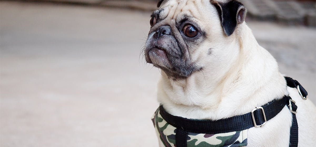 Can Dogs Live on Military Bases? - Wag!