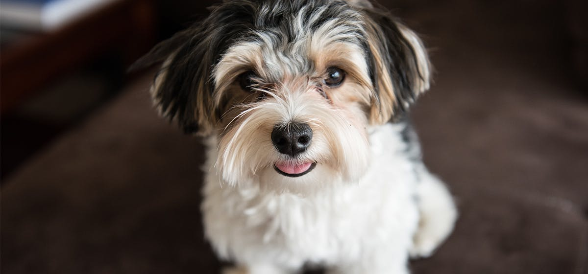 Can Dogs Feel Hair In Their Eyes Wag