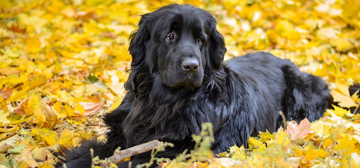 History Of Can Newfoundland Dogs Live In Apartments