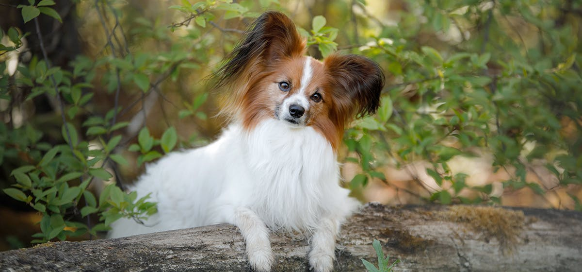Can Dogs Live with Herniated Discs? - Wag!