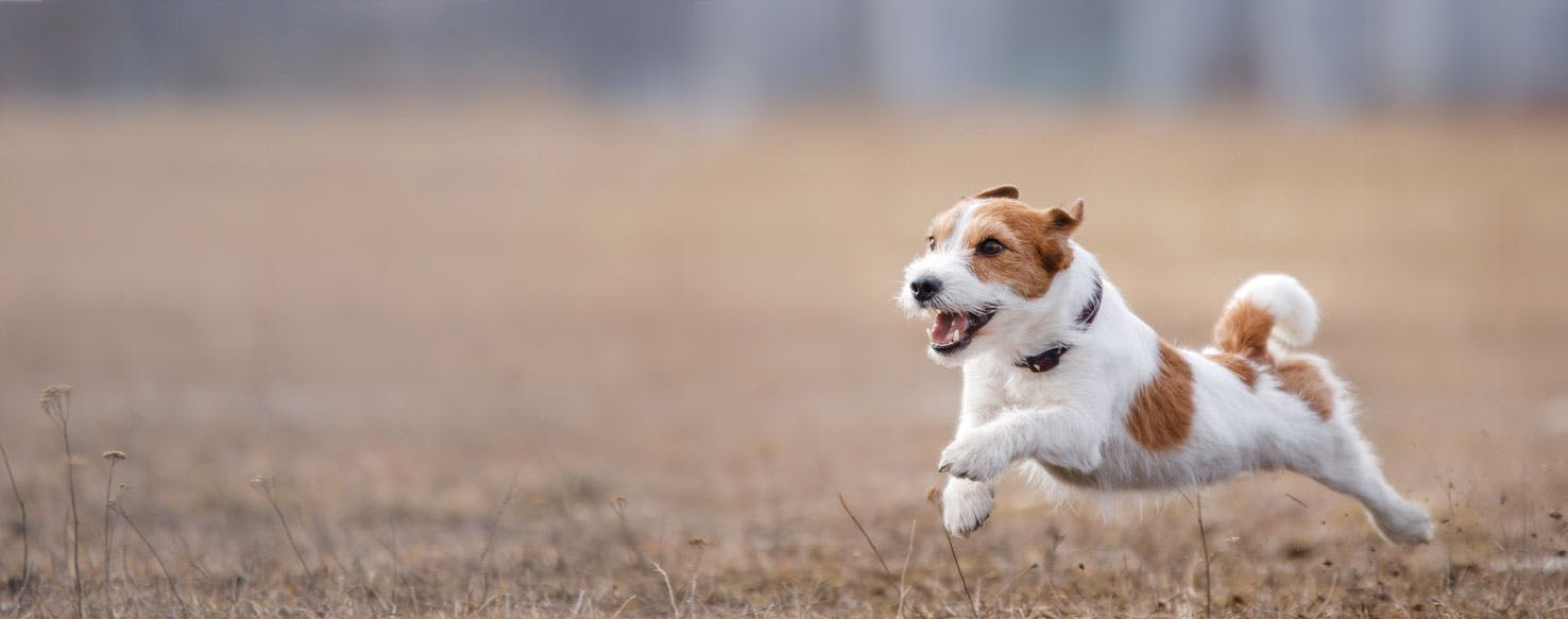 How Fast Can The Fastest Dog Run